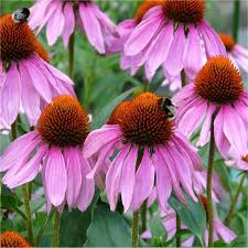 echinacea flower purpurea rubinstern purple cone flower pack of three plants