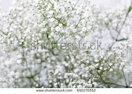 baby s breath babys breath gypsophilia paniculata flower on stock photo
