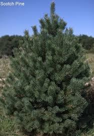 contemporary decoration scotch pine christmas tree wholesale trees