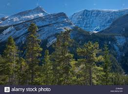 lodgepole pine trees and the canadian rocky mountains jasper