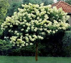 cottage farms 1 limelight tree hydrangea page 1 qvc