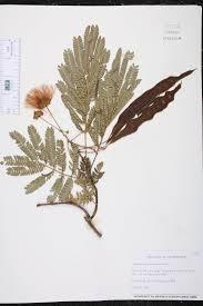 fort pond native plants albizia julibrissin species page isb atlas of florida plants