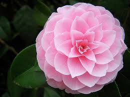 delaware state flower the camellia is the state flower of alabama wouldn t it make a