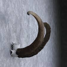 horns for sale hybrid ibex horns for sale 10537 the taxidermy store