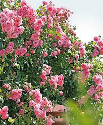 buy climbing rose u0027coral dawn u0027 bakker com