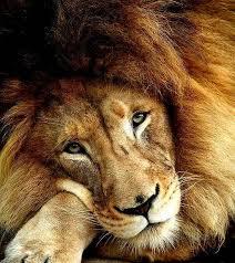 imagenes de leones salvajes gratis leones salvajes inicio facebook