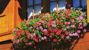 geranien balkon grüner daumen geranien blütenreiche balkonpflanzen