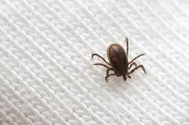 simple and effective home remedies for treatment of seed ticks