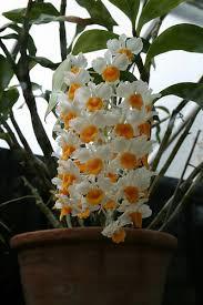 dendrobium orchid dendrobium orchid care