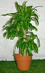 recommendations for indoor tree houseplants ask metafilter