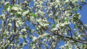 flowers of the cherry tree cherry blossom tree pollination fruit