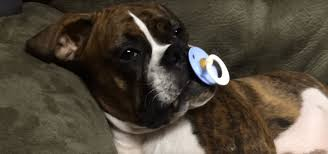 boxer dog howling precious boxer dog won u0027t sleep without her pacifier video