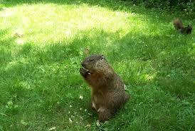file groundhog u0026 chip u0026 squirrel jpg wikimedia commons