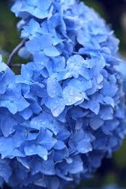 Hydrangea Flowers File Hydrangea Flowers In The Rain Jpg Wikimedia Commons