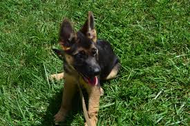 belgian shepherd ears german shepherds vbds sold world class puppies