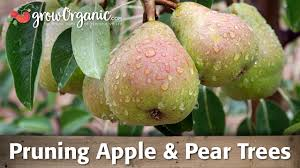 how to prune apple trees and pear trees organic gardening blog