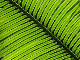 free photo palm fronds palm palm leaf plant leaf green max pixel