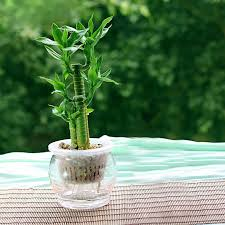 small potted plants mix 60 pcs lucky bamboo seeds small potted plants budding rate of