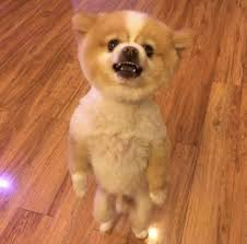 summer haircut pomeranian pomeranian protests his haircut by walking on hind legs for two days