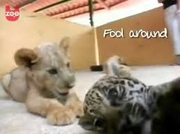 lions for sale cheetah cubs for sale tiger cubs for sale lion cubs for sale