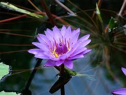 small lily flower tattoos lotus blossom image jpg small purple lotus flower image by