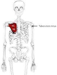 How To Palpate Subscapularis Subscapularis Muscle Pain U0026 Trigger Points