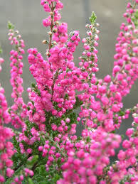 all about heathers the heather garden