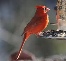 Audubon Backyard Bird Count by 21 Best Backyard Birds Images On Pinterest Backyard Birds