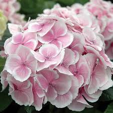 all summer beauty hydrangea from wayside gardens