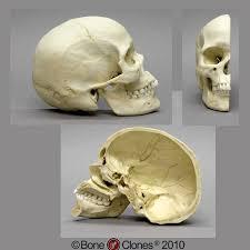 Human Anatomy Skull Bones Human Sagittal Cut Half Skull Bone Clones Inc Osteological
