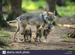 european gray wolf canis lupus lupus she wolf and two wolf cubs