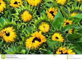 sunflowers for sale fresh sunflowers for sale stock image image of blossom 47093913