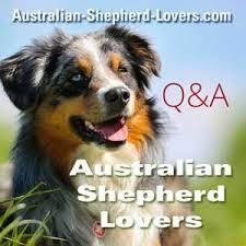 australian shepherd haircuts trimming hair