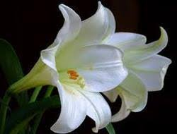 lilies flower flower in coimbatore lilium flower suppliers prices in