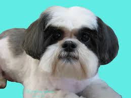 pet grooming the good the bad u0026 the furry scissoring a shih