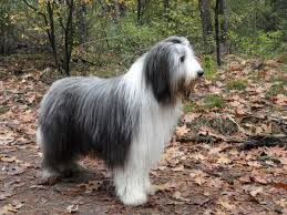 bearded collie adoption bearded collie puppies rescue pictures information