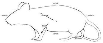 rat dissection protocol intro biology