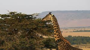 Mara With The A Giraffe Feeding With Oloololo Escarpment In The Background At