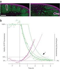 fluorescent fusion protein knockout mediated by anti gfp nanobody