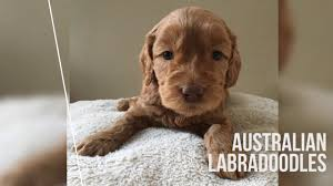 labradoodle puppies rose country labradoodles alberta canada