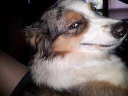 Confused Dog Meme - confused dog face