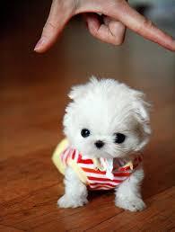 affenpinscher a vendre quebec les 27 meilleures images du tableau cotton ball puppies sur