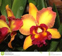 orange and yellow orchid flower stock image image 46859463