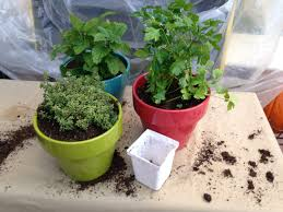 grow herbs indoors in winter harvest to table