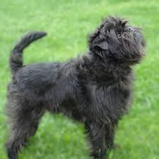 affenpinscher terrier mix affenpinscher breed guide learn about the affenpinscher