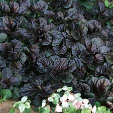homelife 10 best plants for vertical gardens black scallop ajuga perennial 10 plants i ship daily