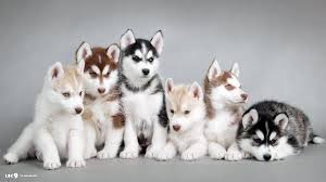 cute husky puppies in snow wallpaper desktop background