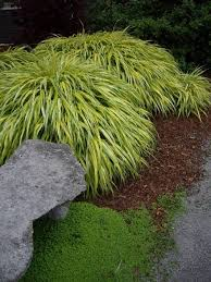garden blue moor ornamental grass outdoor ornamental
