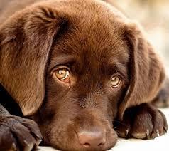 25 labrador puppies ideas chocolate labrador