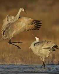 sandhill crane audubon field guide